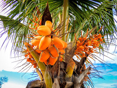 Palm Nuts Ripening on Tree