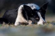 Border Collie sheep dog laid down in field watching sheep intently. Yorkshire, UK.