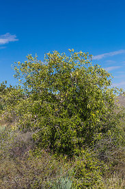 Netleaf Hackberry, Celtis reticulata, Growing in New Mexico's Organ Mountains