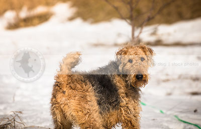 beautiful airedale terrier looking back from field of snow