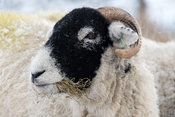 Swaledale sheep recieving supplementry feeding during a snowstorm in Wensleydale, North Yorkshire, UK.