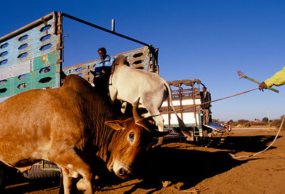 loading cattle at market