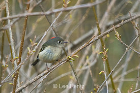 Ruby-Crowned Kinglet in Seattle Arboretum