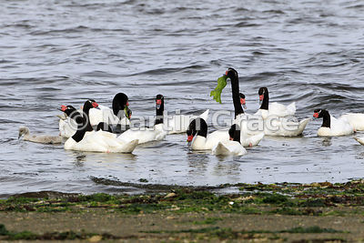 Black-Necked Swan adults with single cygnet (Cygnus melancoryphus), Chiloe Island, Chile