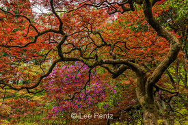 Elegant Japanese Maple in Seattle's Japanese Garden