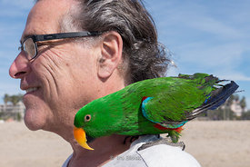 An Eclectus Parrot out for a walk with his owner at Santa Monica Beach, CA.