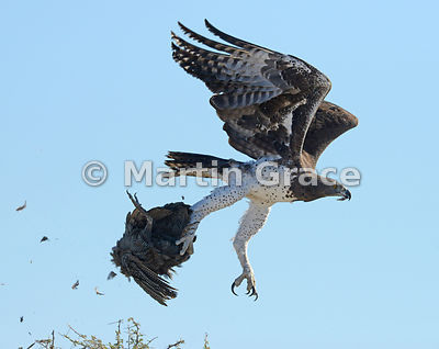 Martial Eagle (Polemaetus bellicosus) in flight, carrying prey Helmeted Guineafowl (Numida meleagris), Etosha, Namibia