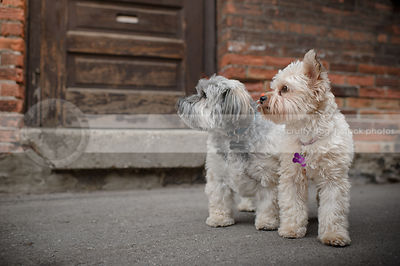 two small cute dogs looking away together near urban brick wall
