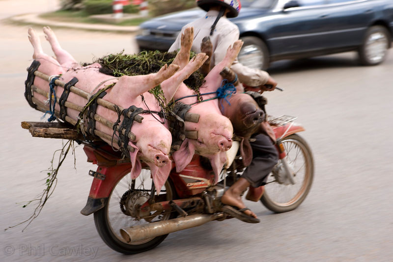 pigs off to market