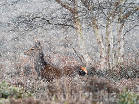 Red Deer Cervus elaphus hinds in blizzard on heath at Minsmere RSPB Reserve February