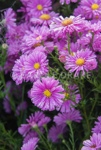 Aster novi-belgii 'Patricia Ballard'. Waterperry Gardens, Wheatley, Oxfordshire, UK