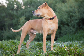 Tan Pitbull Mix Dog Standing in Profile