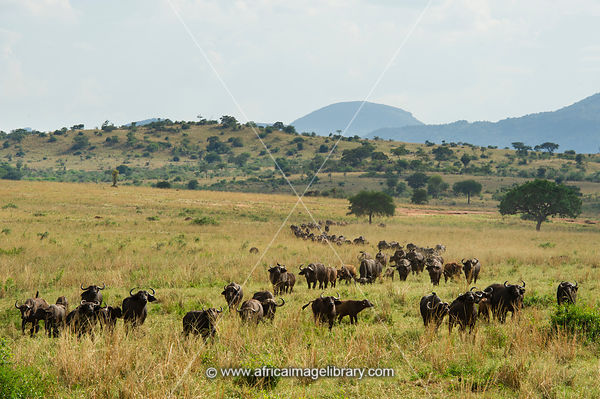 Herd of buffalo, Syncerus caffer, Kidepo Valley National Park, Uganda