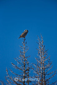 Northern Hawk Owl (Surnia ulula) hunting from atop one of the fire-killed subalpine conifers of Meadows Campground during one of the species' rare irruption visits to Washington State, Okanogan National Forest, North Cascade Mountains, USA, October, 2008_WA_6518