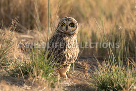 short_eared_owl_looking_around_grass-7