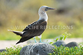 blue_footed_booby_north_seymour-15