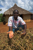 Man holding up dried bean crop outside traditional mud hut in village Kenya Africa