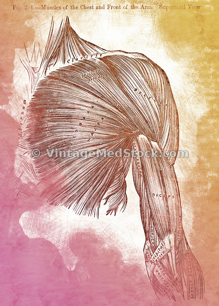 Muscles of the chest and shoulders | Digital Illustration