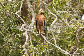 black_collared_hawk_branch_perch-2