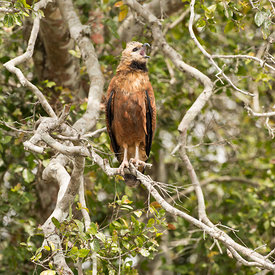 Black-Collared Hawk wildlife photos