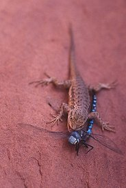 Lizard and Dragonfly at Canyon Lands