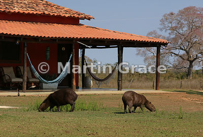 Capybara (Hydrochoerus hydrochearis) grazing the grass outside the lodge, River Pixaim, Northern Pantanal, Mato Grosso, Brazil