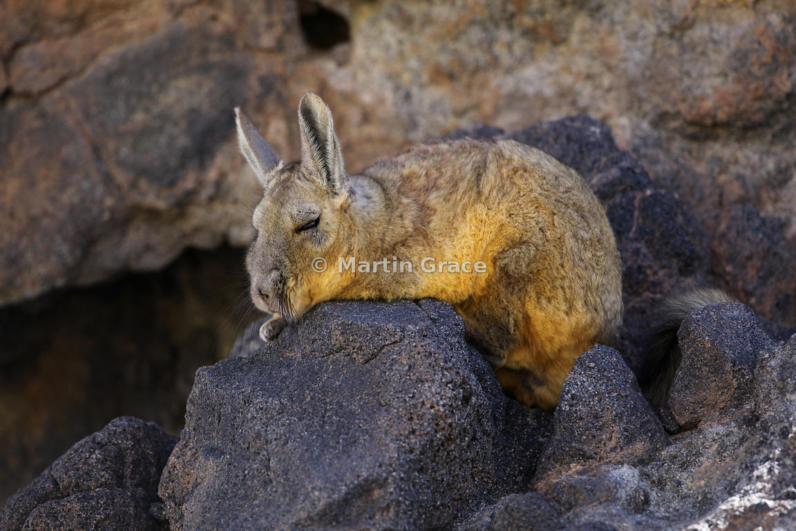 martin grace photography mountain viscacha or vizcacha lagidium viscacia salar de tara. Black Bedroom Furniture Sets. Home Design Ideas