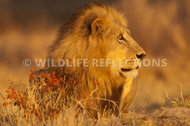 lion_male_watching_3