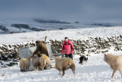 Farmer feeding flock of sheep after a snow storm, North Yorkshire, UK.