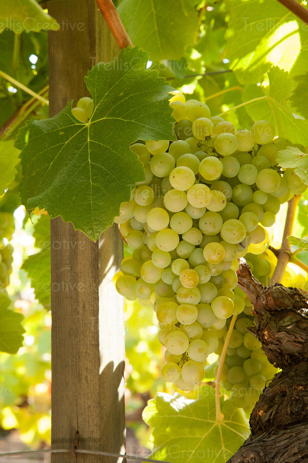 Ripe semillon wine grapes on vine