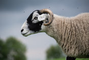 Swaledale sheep grazing in pasture, being bothererd by flies. North Yorkshire, UK.