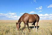 Brown horse grazing in a dry field