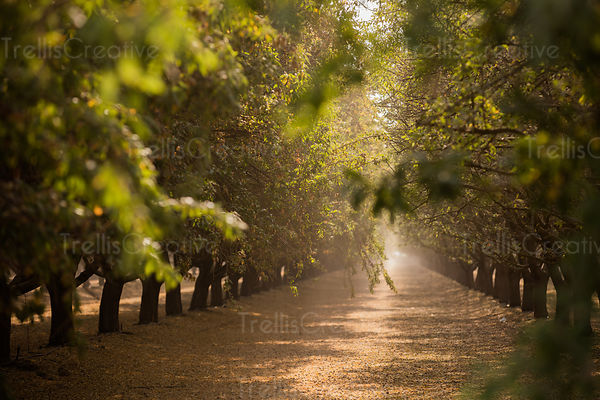 Rows of almond trees in grove with sunlight pouring in.