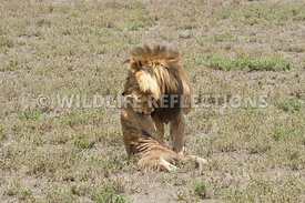 lion_carrying_dead_cub_7