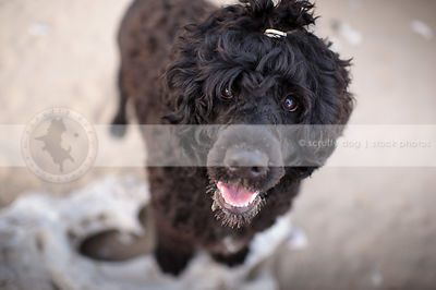 cute curly coated black dog staring up from sandy beach