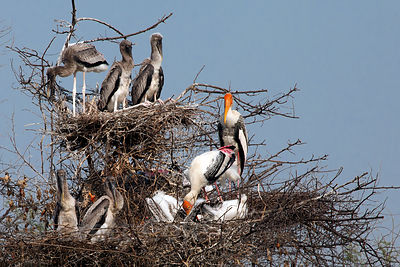 Nesting painted storks (Mycteria leucocephala), Keoladeo National Park, Rajasthan, India