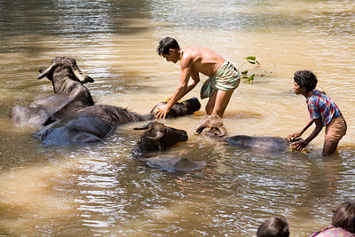 A water buffalo is washed