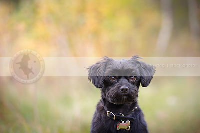 headshot of small black groomed dog with minimal background