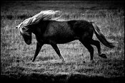 La belle allure, Wild horse of Iceland 2015 © Laurent Baheux
