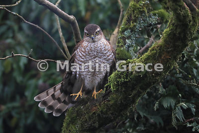 Juvenile male Eurasian Sparrowhawk (Accipiter nisus) balances on one leg in a garden Lilac (Syringa sp), Lake District National Park, Cumbria, England