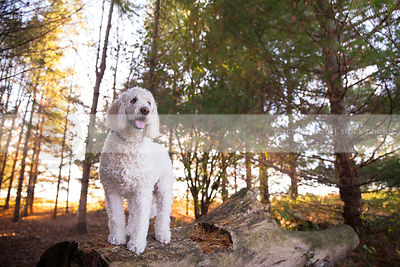 groomed white mixed breed dog standing on log in pine trees