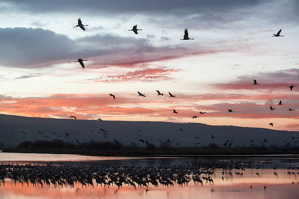 Cranes in the Hula Valley photos