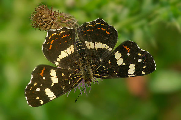 Nymphalidae - Schoenlappers - Brush-footed butterflies photos