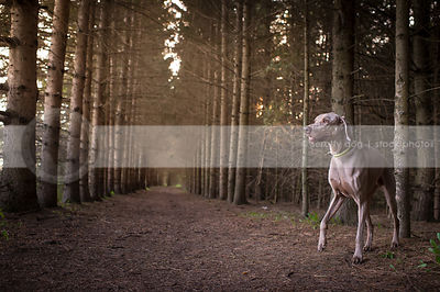 grey weimaraner dog walking turning in pine trees