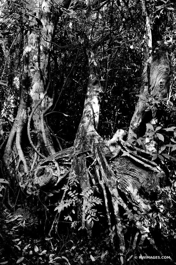 GUMBO LIMBO TRAIL VEGETATION EVERGLADES NATIONAL PARK FLORIDA BLACK AND WHITE