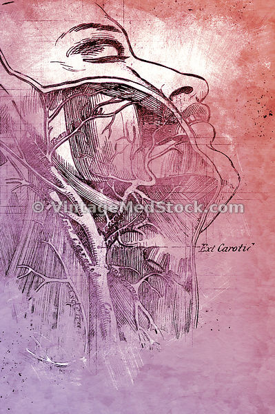 Illustration of veins and arteries of the neck | Digital Illustration
