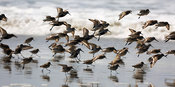 Shorebirds: Dunlin and Western Sandpipers