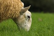 Welsh Mule lamb grazing grass