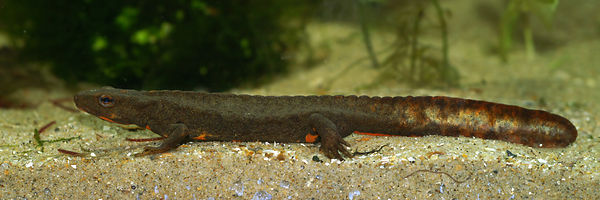 Paramesotriton species  - possibly longliensis