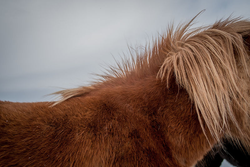 Closeup of an Icelandic horse's mane
